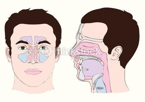 Anatomie Der Nase Vektorgrafik   Thinkstock