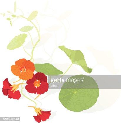Orange and Red Flowers of Nasturtium : stock vector