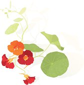 illustration of blooming nasturtium flowers...shadow placed on separated layer...