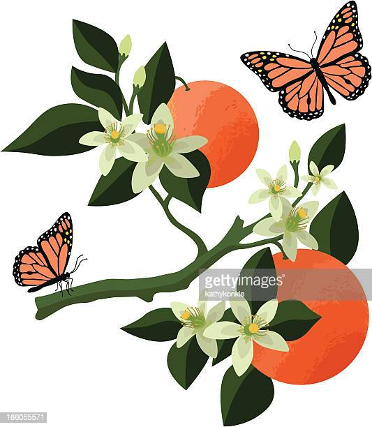 orange blossoms and monarch butterflies