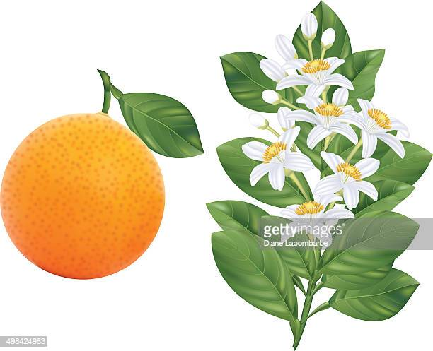 Orange Blossoms Branch and Fruit