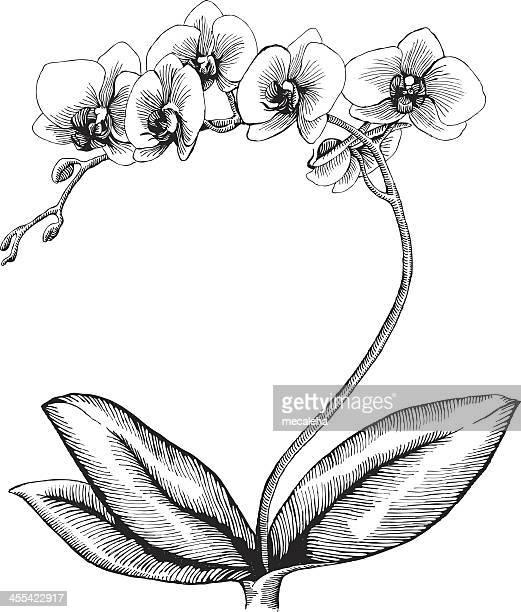 Illustrations et dessins anim s de orchid e getty images - Dessin d orchidee ...