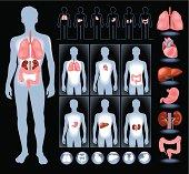 Set of human anatomy parts: liver, heart,