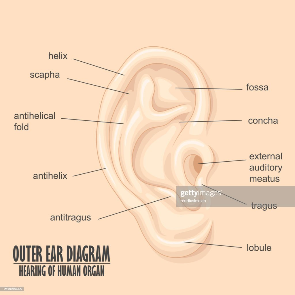 Diagram Of Outer Ear Lobe - ~ Wiring Diagram Portal ~ •