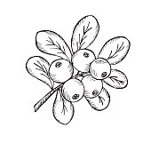 Ð¡owberry with leaves and branches.  Illustration doodle sketch hand-drawn bunch of ripened lingonberry. Isolated on white background. The concept of harvesting. Vintage retro style. Ripe cranberry wi