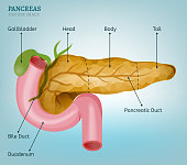 Pancreas and duodenum image on a light blue background. Medical vector illustration of the internal organs.