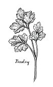 Parsley ink sketch. Isolated on white background. Hand drawn vector illustration. Retro style.