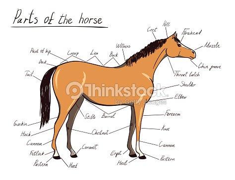 Teile Des Pferdes Equine Anatomie Reitermodell Mit Text Vektorgrafik ...