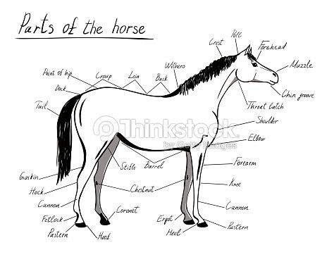 Parts Of Horse Equine Anatomy White And Black Equestrian Scheme With ...