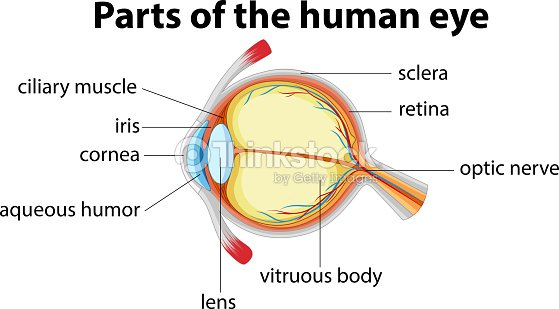 Parts of human eye with name arte vetorial thinkstock parts of human eye with name arte vetorial ccuart Choice Image