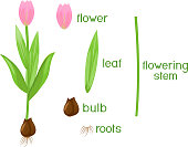 Parts of plant. Morphology of tulip with green leaves, pink flower, bulb and titles