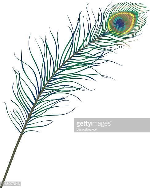 Illustrations et dessins anim s de paon getty images - Plume de paon dessin ...