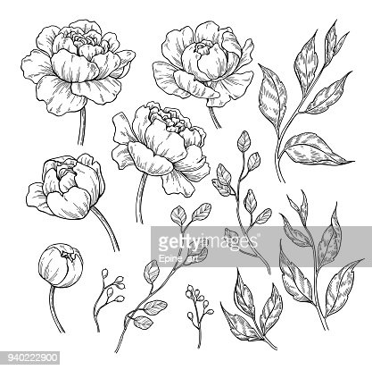 Peony flower and leaves drawing. Vector hand drawn engraved floral set. Botanical rose, : Arte vettoriale