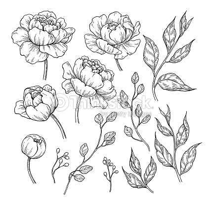 Peony flower and leaves drawing. Vector hand drawn engraved floral set. Botanical rose, : stock vector