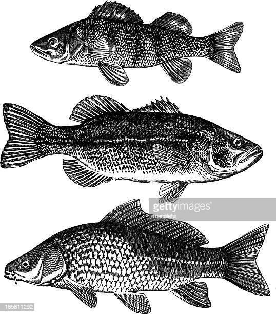 Perch, Bass, Carp