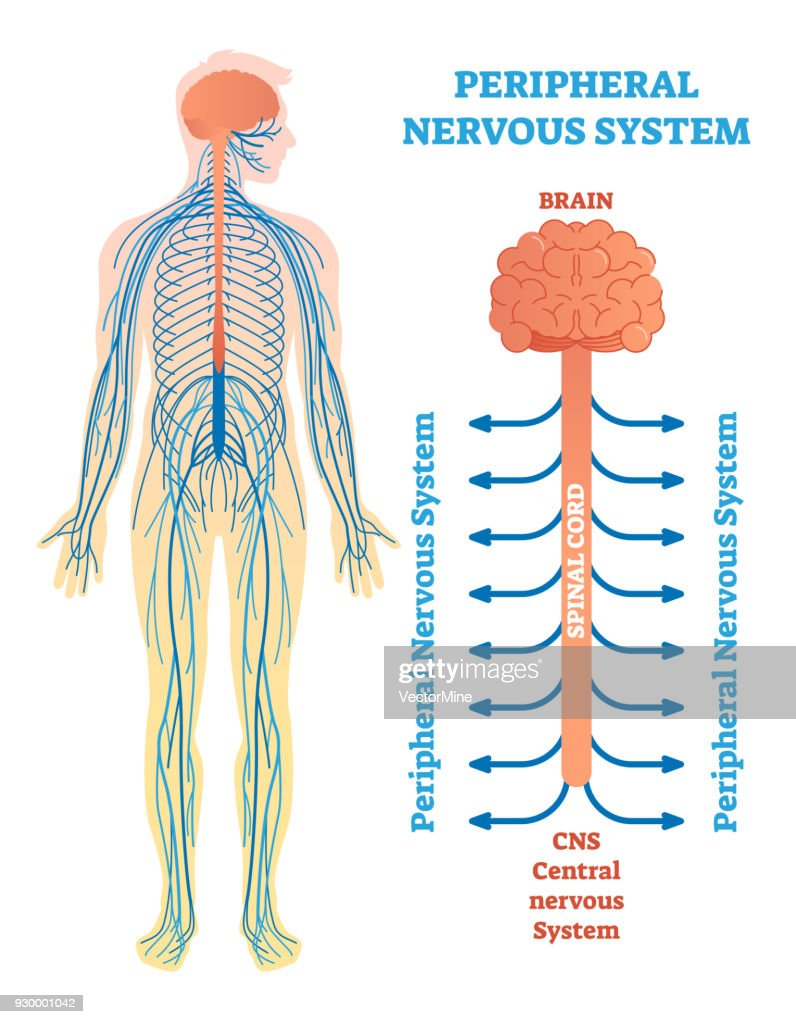 Brain Spinal Cord Diagram Electrical Wiring Diagram House