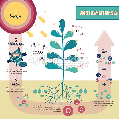 Photosynthesis Plant Cell Diagram Vector Art Thinkstock