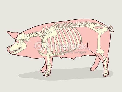 Cerdo Esqueleto Para La Venta Anatomía De Los Cerdos Ilustración De ...