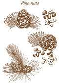 pine nuts set of sketches on an white background