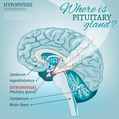 Hypophyse Vektor Vektorgrafik   Thinkstock