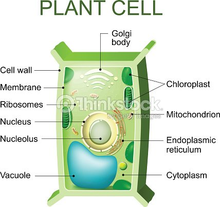 Plant Cell Anatomy Vector Art | Thinkstock
