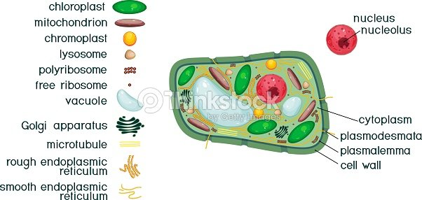Plant Cell Structure With Titles And Different Organelles stock