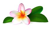 Pink plumeria flower. Realistic isolated frangipani illustration with green leaves on white background