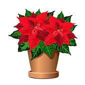 Poinsettia plant in pot (Christmas star, Euphorbia pulcherrima). Vector illustration isolated on white background for interior design.