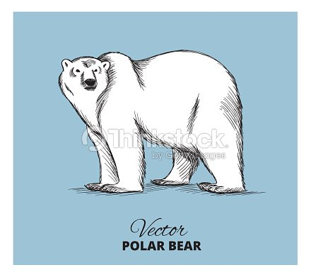 Polar Bear Hand Drawn Illustration Vector Art Thinkstock