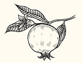 Pomegranate hand drawn illustration. Vector isolated on beige