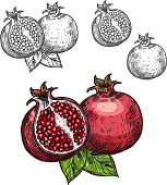 Pomegranate fruit sketch icon. Vector isolated symbol of fresh opened and whole pomegranate with seeds for juice or jam dessert or farm grown fruits grocery store, farmer market or botanical design