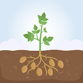 Potato plant with leaves and roots. Vector illustration flat design