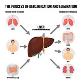 Process of detoxification and elimination medical poster with simple scheme. Liver and other human organs that suffer from toxins vector illustration.