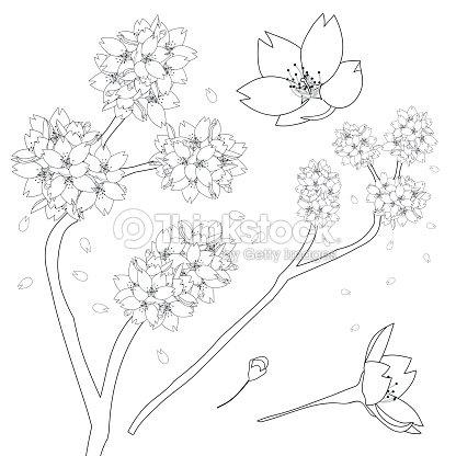 Prunus Serrulata Esquema Flor De Cerezo Sakura Flor Nacional De ...