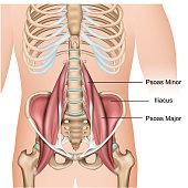 Psoas major muscle anatomy 3d medical vector illustration on white background eps 10