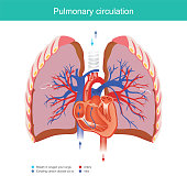 Explain working duty for the heart and lungs apply oxygen gas from the environment into the blood system in the human body and out carbon dioxide into the environment.