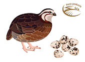 Quail. Farm products. Colored illustration on white