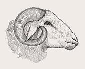 Ram head, graphic vector hand drawn illustration