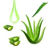 Realistic aloe vera vector illustration on white background. aloe vera with fresh drops of water