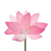 Realistic Detailed Pink Lotus Flower Isolated on White Background. Symbol of Asia, Spa and Meditation. Vector illustration