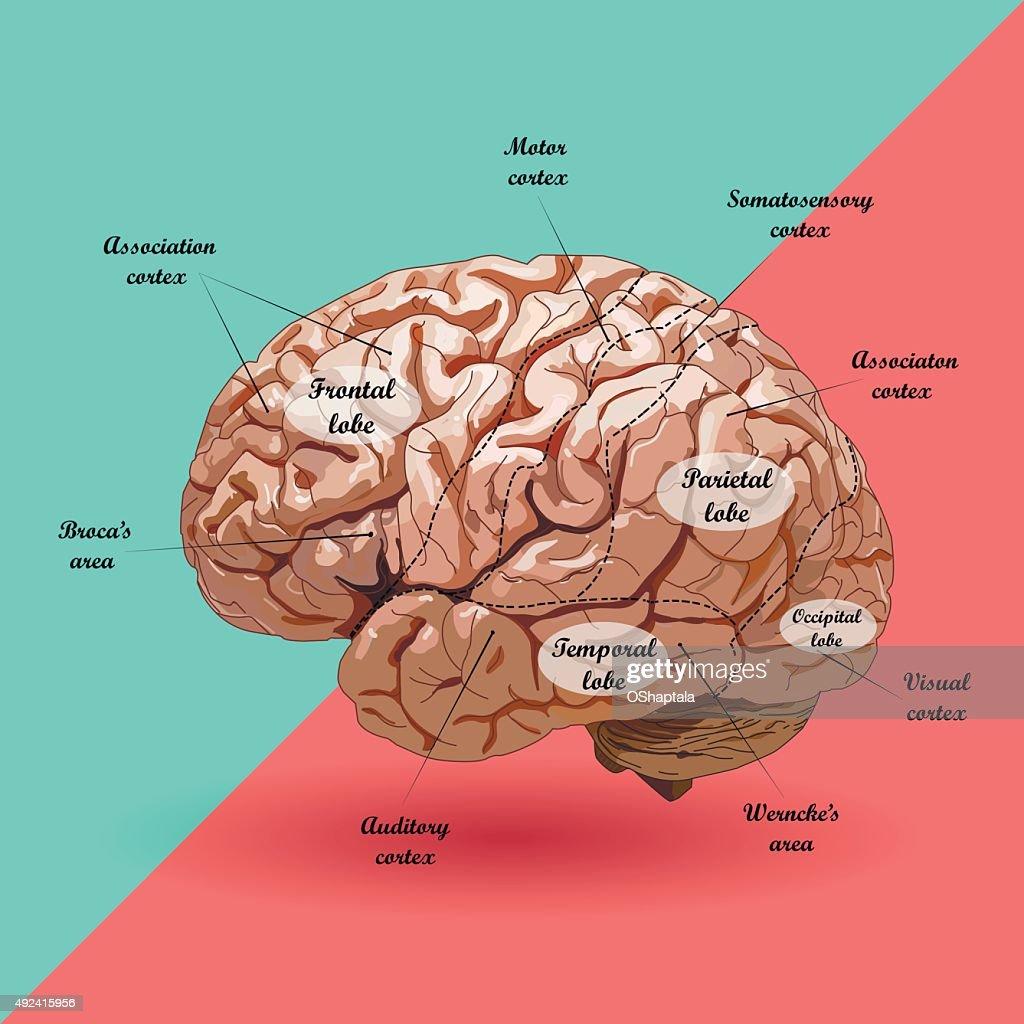 Realistic diagram of the brain trusted wiring diagrams realistic human brain scheme vector art thinkstock rh thinkstockphotos com au regions of the brain diagram simplified diagram of the brain ccuart Images