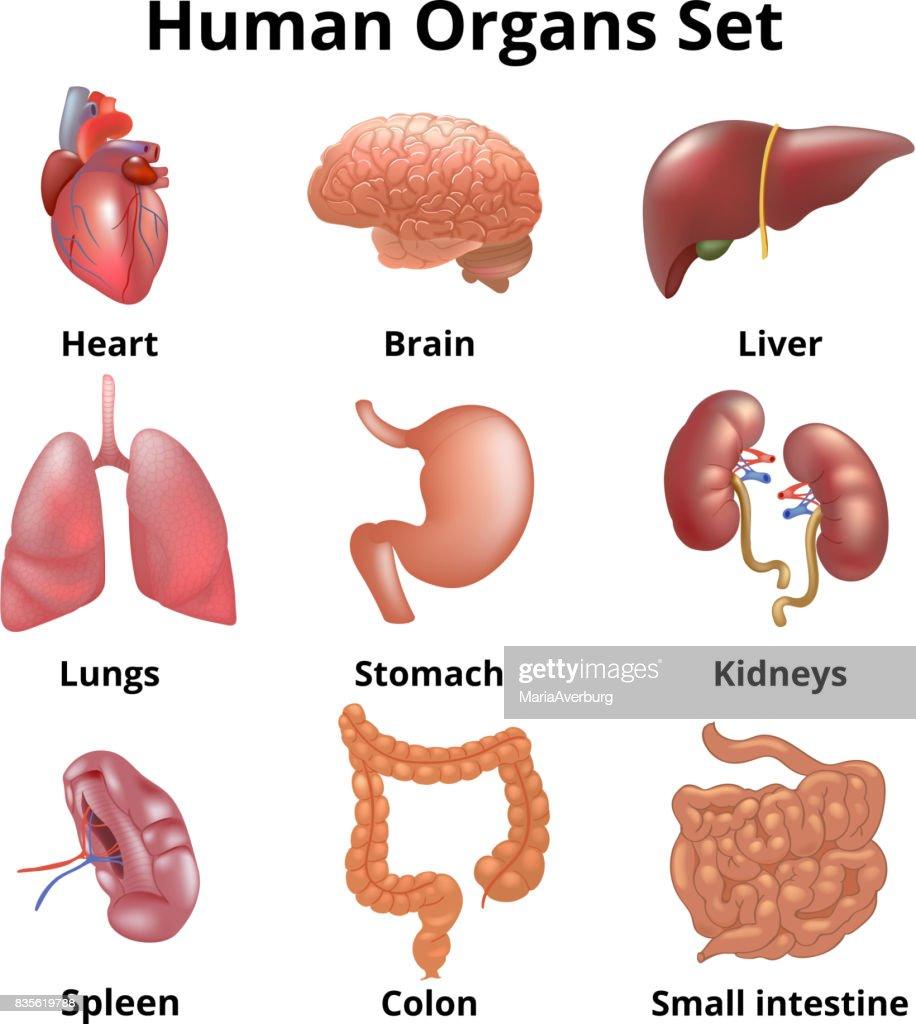 Human Organs Diagram Realistic - DIY Enthusiasts Wiring Diagrams •