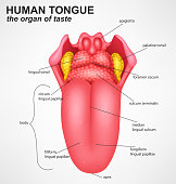 Vector Illustration Of Realistic Human tongue structure