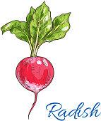 Fresh radish vegetable with green leaves isolated sketch. Juicy ripe red radish for vegetarian healthy food, salad recipe, organic farm design