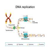 DNA replication. double helix is unwound. Each separated strand acts as a template for replicating a new strand. Free Nucleotides are matched to synthesize the new partner strands into two new double