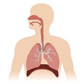 human respiratory system anatomy. vector format illustration.