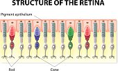 Eye and Vision. structure of the retina. Rods and Cones. Vector diagram