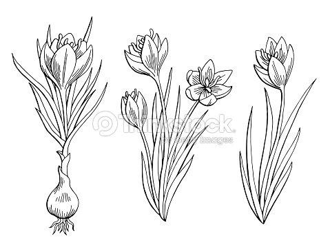 Saffron Graphic Flower Black White Isolated Sketch Illustration