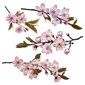 Sakura flowers background. Set of Blossoming cherry branches with pink flowers. Symbols of coming spring. Realistic vector illustration