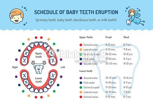 Schedule Of Baby Teeth Eruption Primary Teeth Deciduous Teeth